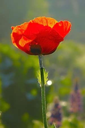 oriental poppy: oriental poppy flower Stock Photo