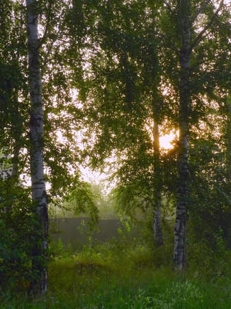 morning sun through the branches of birch trees