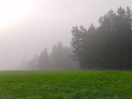 campo com brotos de girassol em uma n