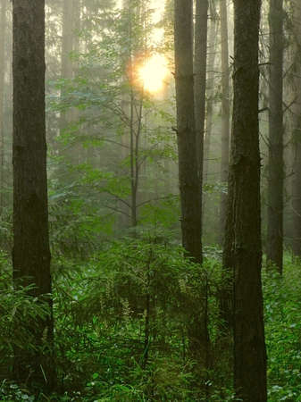 spruce forest in the early morning with the sun in the fog