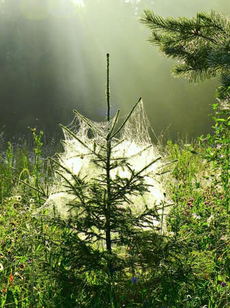 spruce in the web this morning, backlit photo