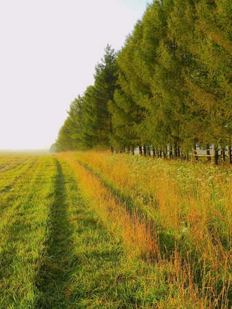 larch alley slant field Stock Photo
