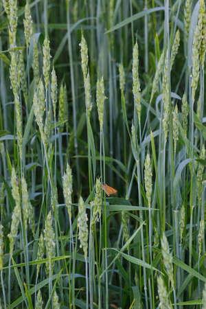flowering wheat ears
