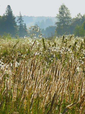 meadow in the morning dew