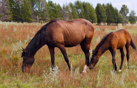 chestnut mare and foal in the pasture