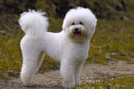 white poodle dog on the lawn Stock Photo
