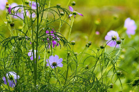 ornamental horticulture: pink cosmos flowers