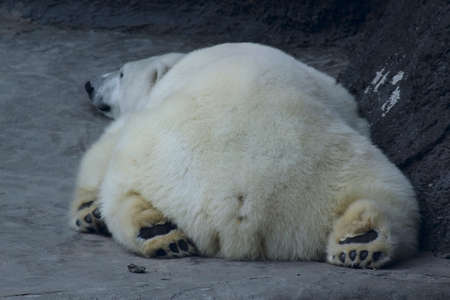 polar bear is back to photo