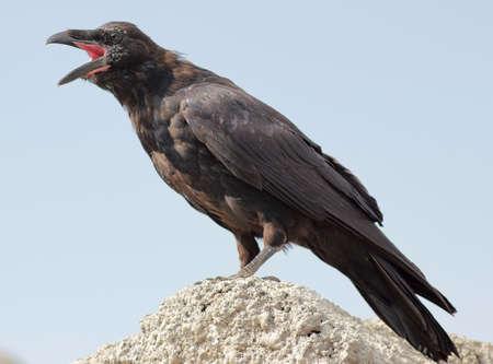 warns: Crow warns of danger Stock Photo