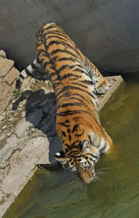 enters: Tiger enters the water