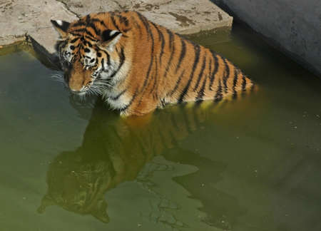 Tiger sitting in water