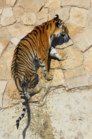 Bengal tiger is on the stone pavement Stock Photo