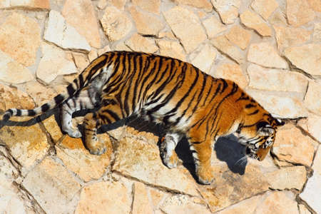 Tigre de Bengala est