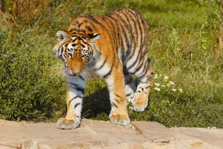 Bengal tiger is on the lawn Stock Photo