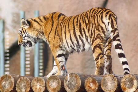 Tiger walking on logs Stock Photo