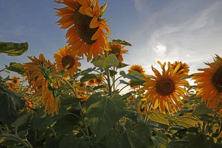 Yellow sunflowers in a field with clouds at sunset