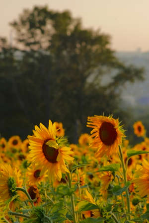 Yellow sunflowers in a field with trees in the distance