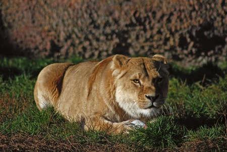 leão deitado na grama