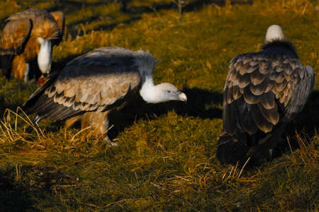 griffon: griffon vultures lunch Stock Photo