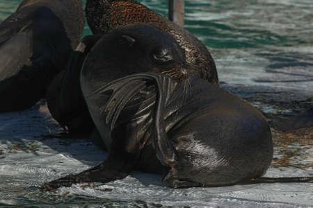 pinniped: seal