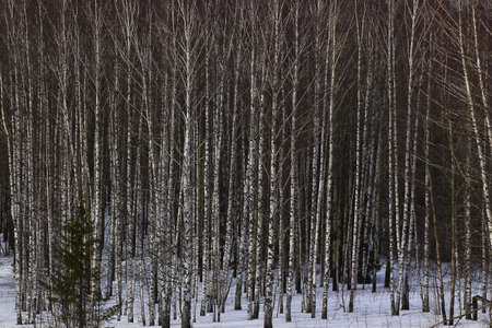 beautiful birch grove in early spring