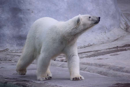 walking polar bear Stock Photo