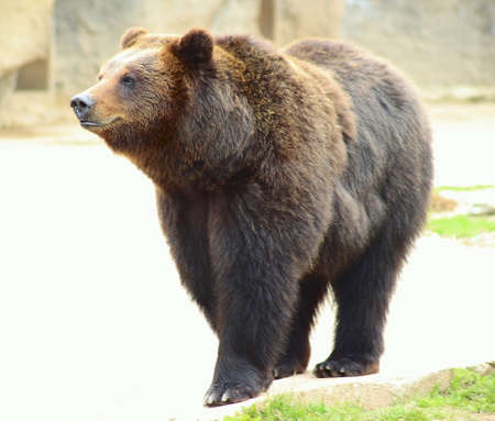 brown bear woke up in the spring and walks