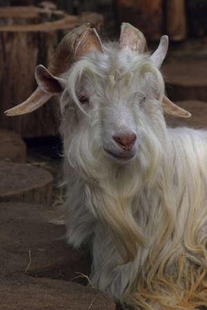 fluffy white goat