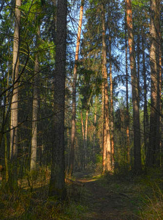 pine forest spring                               Stock Photo