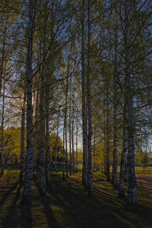 birch grove in the spring in May