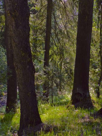 coniferous forest in spring Stock Photo