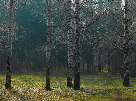 birch trunks lit by the morning sun in spring