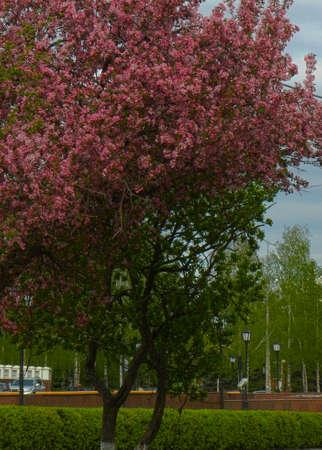 Blooming pink apple tree in city park