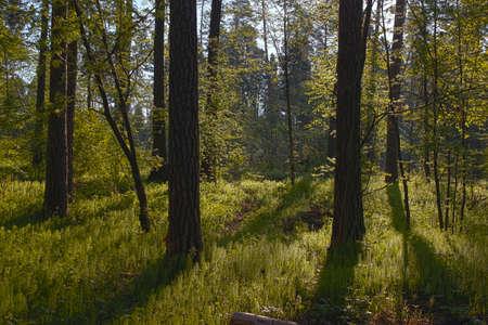 spring morning sunlit forest Stock Photo