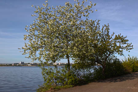 view of the city pond with blooming apple tree