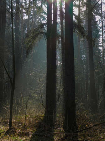 rays of the sun in the morning fog forest