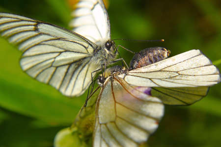 a pair of white butterflies making love