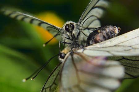 making love: un par de mariposas blancas que hacen el amor