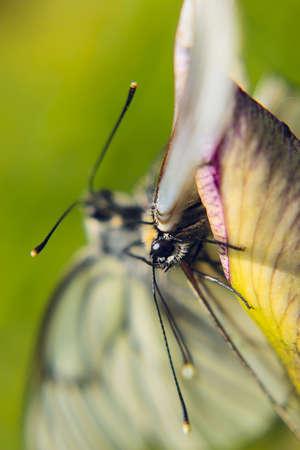 faisant l amour: une paire de papillons blancs qui font l'amour Banque d'images