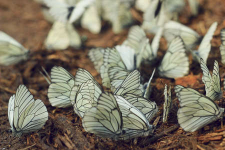 a group of white butterflies resting and drinking