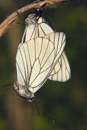 two white butterflies Stock Photo
