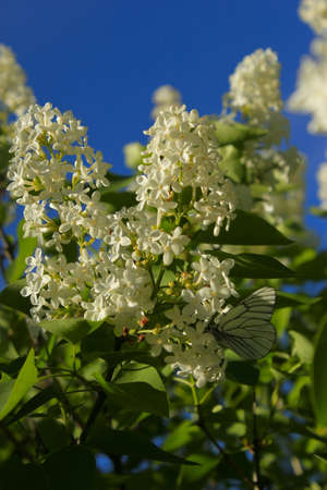 white lilac with butterfly sitting