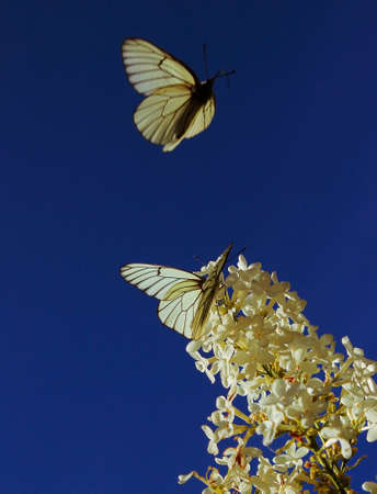 white lilac with flying butterfly Stock Photo
