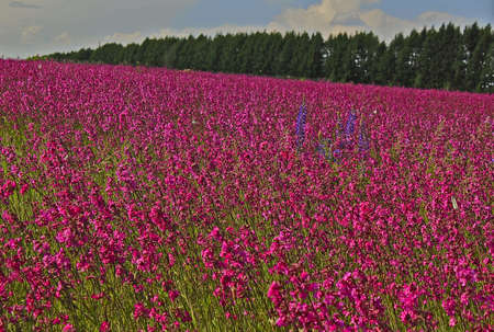 field of blooming pink wild roses