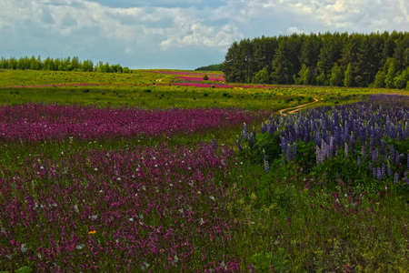 field of blooming purple lupine and wild roses