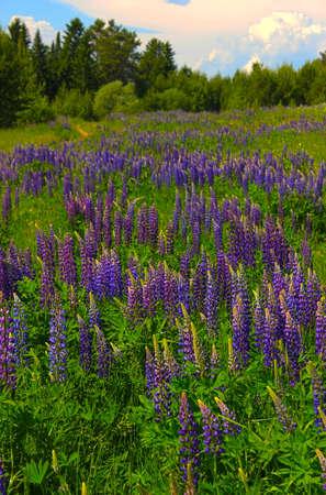 field of blooming purple lupine
