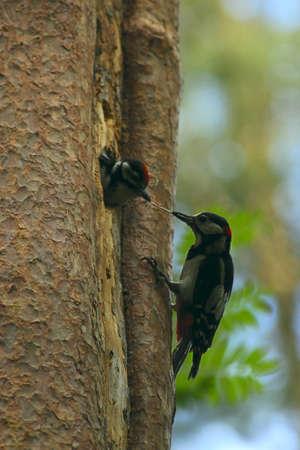woodpecker feeding chicks