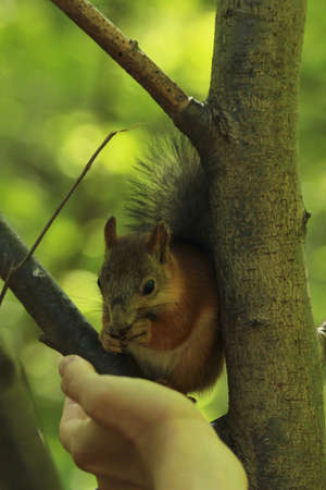 tree dweller: squirrel eating seeds from a human hand