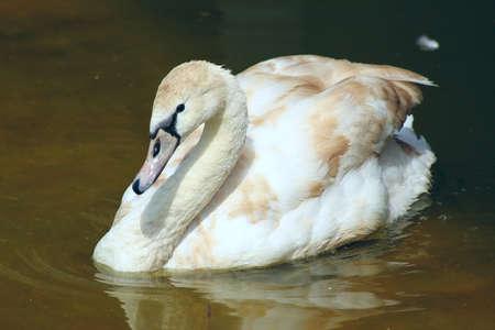 white swan swims Stock Photo