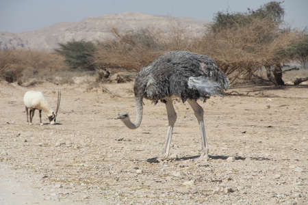 nature reserves of israel: Female of African ostrich  Struthio camelus  in the Negev desert, 25 km north of Eilat, Israel